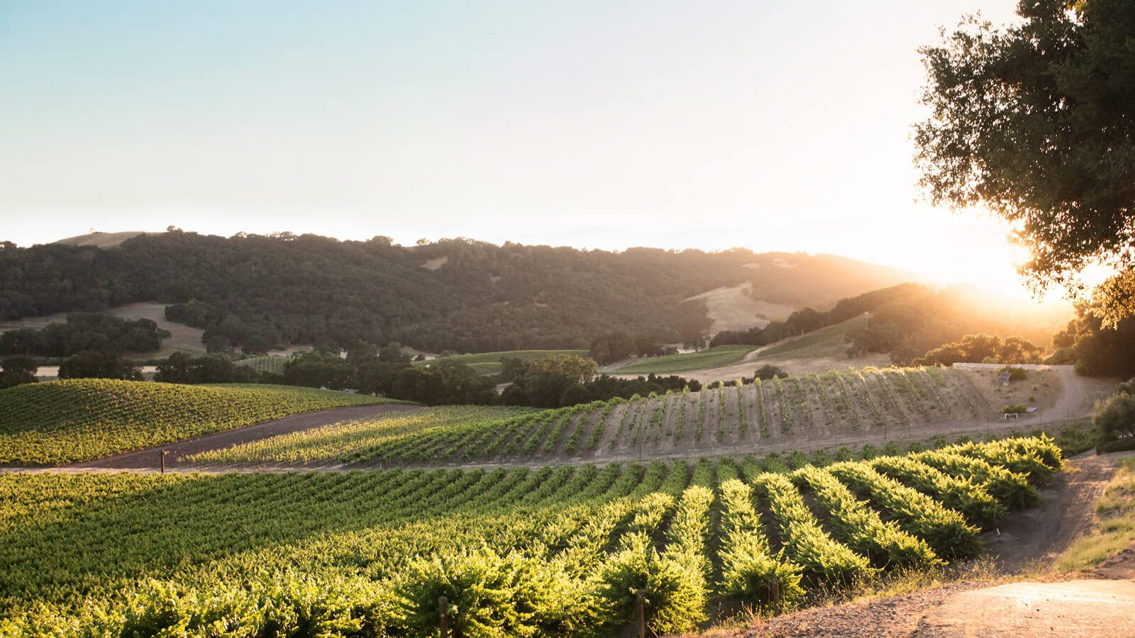 Soundless video of the Grosso Kresser vineyard in the golden, morning light.